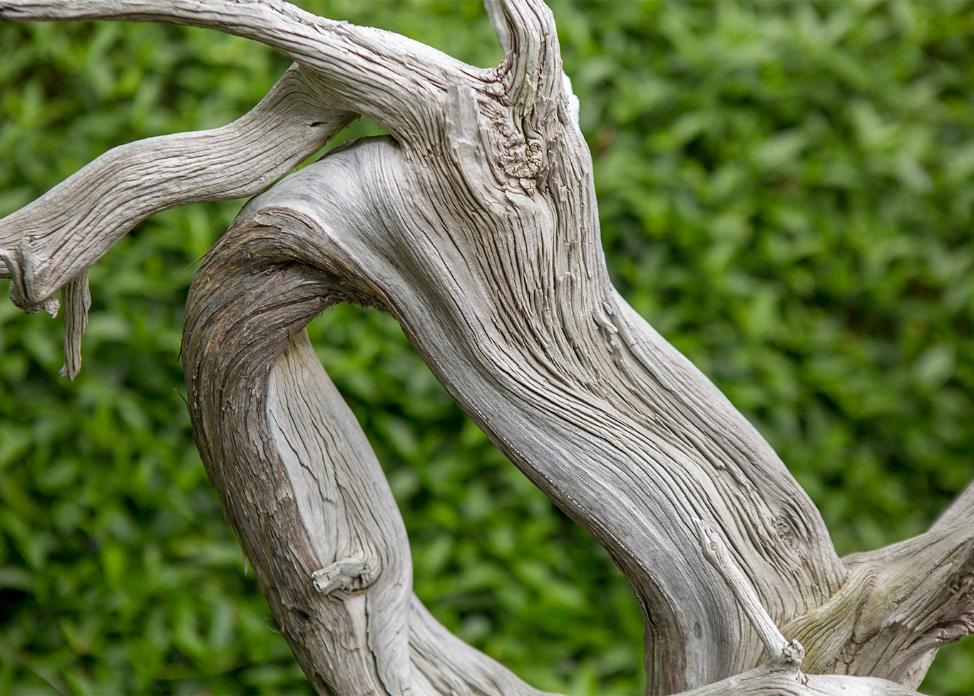 juniper_deadwood_bonsai_Detail