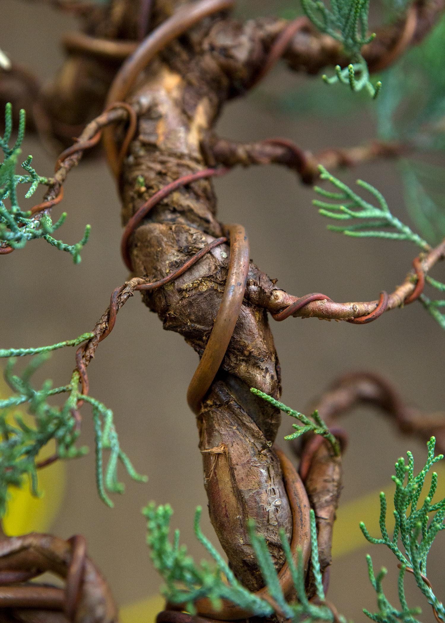 copper_wire_bonsai_juniper