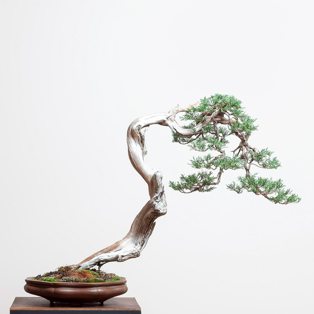 RMJ_juniper_bonsai_yaamaki